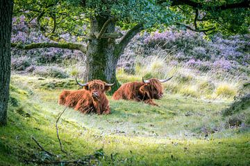 Schotse hooglanders van Erica Kuiper