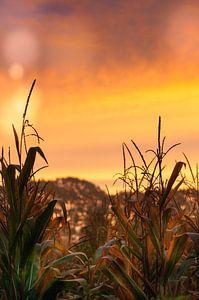 Zonsopkomst over het maisveld van