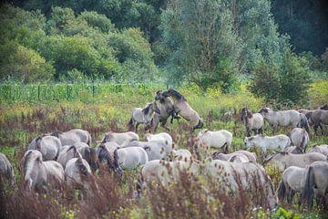 Konik-Pferde im Kampf von Ans Bastiaanssen