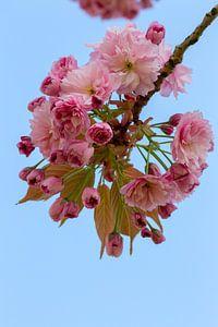 De Japanse sierkers bloeit in het vroege voorjaar met roze bloesem van Jani Moerlands