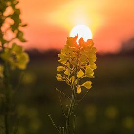 Bloem met zonsondergang van Martijn Tilroe