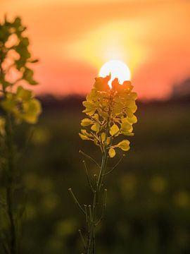 Blüte bei Sonnenuntergang von Martijn Tilroe