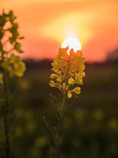 Bloem met zonsondergang