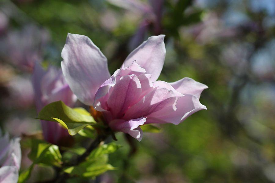 The Violet Blossom