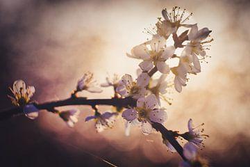 Blüte Sonnenaufgang von Joran Quinten