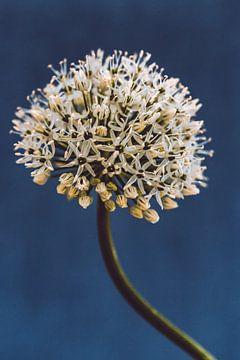 Allium, night blue