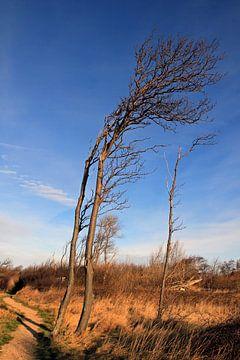 Windflüchter von Ostsee Bilder