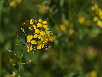 Nahaufnahme einer Biene beim Sammeln von Nektar auf einer gelben Rapsblüte von Timon Schneider