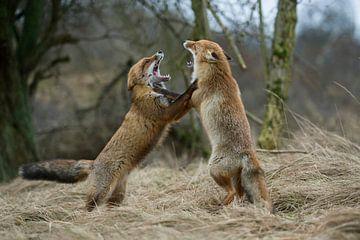 Vos ( Vulpes vulpes ), twee rode vossen die elkaar bedreigen, wilde dieren, Europa. van wunderbare Erde