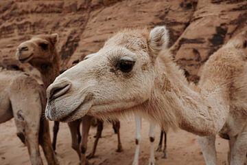 Kamelen in Wadi Rum, Jordanië van Melissa Peltenburg