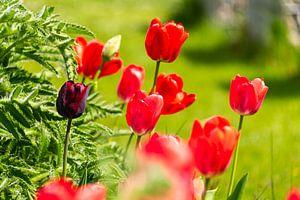 Rote Tulpen im Garten von Peter Baier