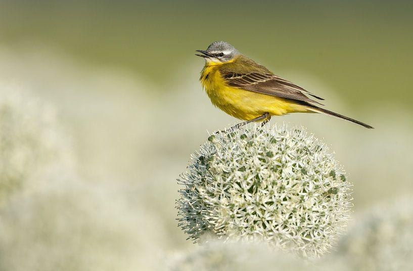 Gele kwikstaart op een bloem van een uienbol van Menno Schaefer