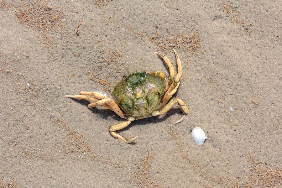 Krab in de Waddenzee