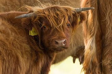 Schotse hooglander kalf van Leo Kramp Fotografie