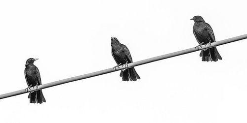 Drie vogels op een draad  van Harrie Muis