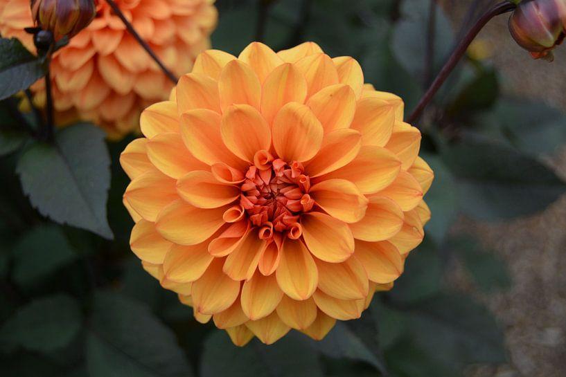Chrysanthemum, Oranje van Patricia Leeman