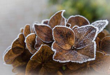 Winterse hortensia met rijp van Bianca Muntinga