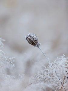 Bevroren zaaddoos