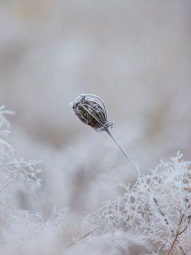 Boîte à semences congelée sur Jibbe Vloedgraven