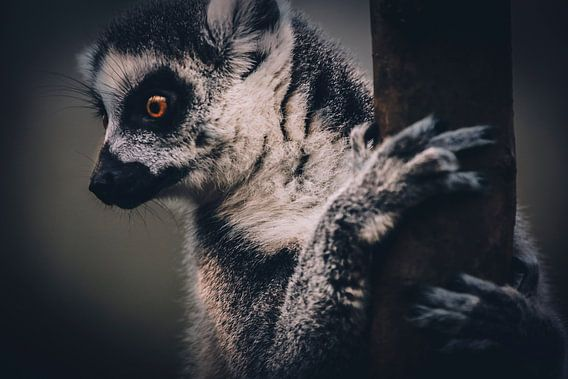 Lemur Monkey van Mark Zanderink