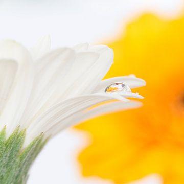 Waterdruppel op wit bloemblad von Jenco van Zalk