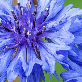 Blauwe korenbloembloesem tegen een groene achtergrond van Reiner Conrad