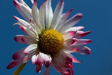 Gänseblümchen vor einheitlich blauem Himmel von Anne Ponsen