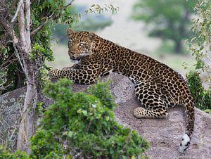leopard van anja voorn