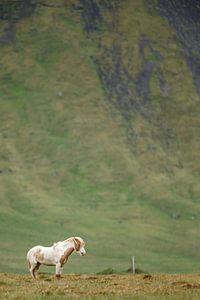 IJslandse Paard