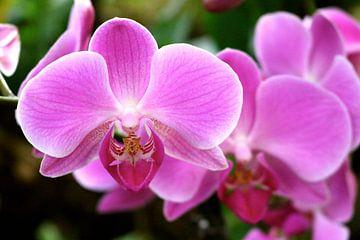 Roze Orchideeën  van