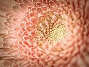 Pink Gerbera von