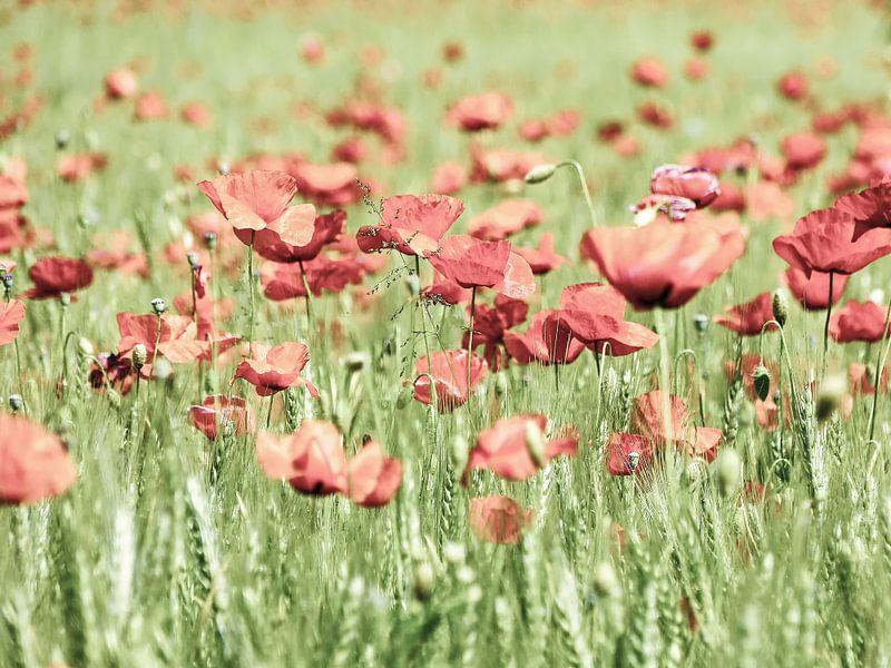 Poppy in spring