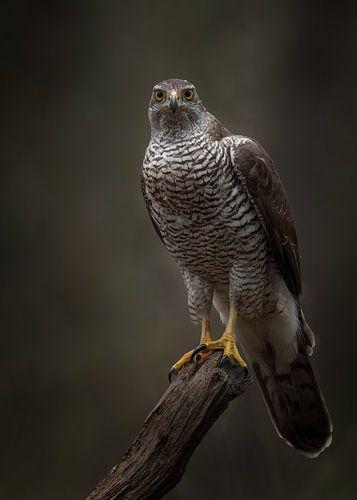 Roofvogel; Havik, starend op een oude boom van