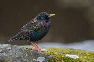 Common Starling Star ( Sturnus vulgaris )