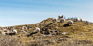 Schafe in den Dünen von Meijendel bei Wassenaar von MICHEL WETTSTEIN