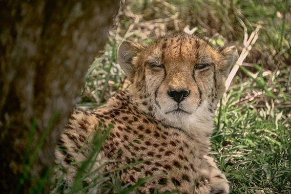 Cheetah - one eye open van Laura Sanchez