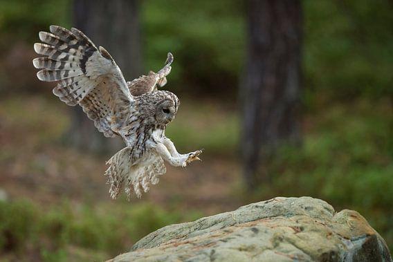 Tawny Owl ( Strix aluco ) in flight, flying, just before landing