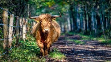 Schotse Hooglander aan de wandel