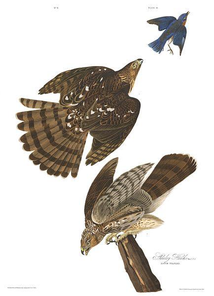 Coopers Sperwer van Birds of America