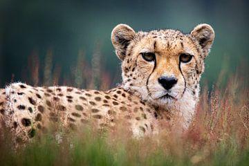 Gepard von Scholtes Fotografie