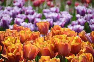 Tulpen von Corinna Vollertsen