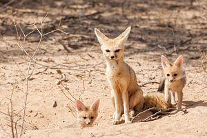 Kaapse vosjes met hun moeder van