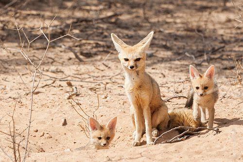 Kaapse vosjes met hun moeder