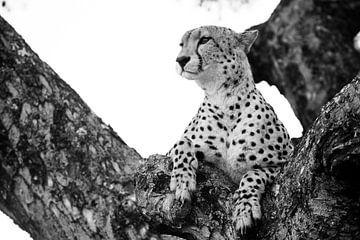 Jachtluipaard in boom van