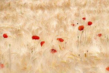 Klaprozenfamilie in de korenvelden. van Greet Thijs