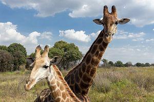 Giraffes, Zuid Afrika van