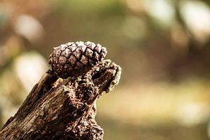 Kiefernzapfen von Kim Reuvekamp
