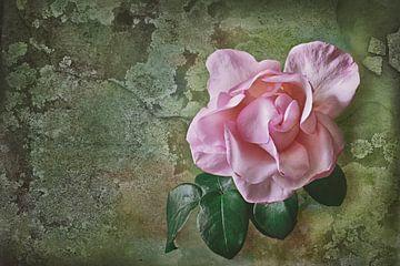 rose rose sur Dieter Beselt