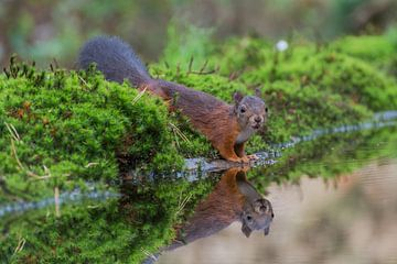 Eekhoorn met spiegeling /squirrel with reflection von Anna Stelloo