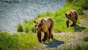 Grizzlybär mit einem Welpen, der entlang den Fluss, Alaska geht
